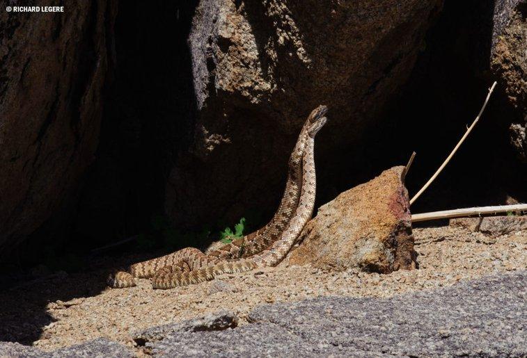 Rattlesnake Combat: Wrestling, Not Slow Dancing