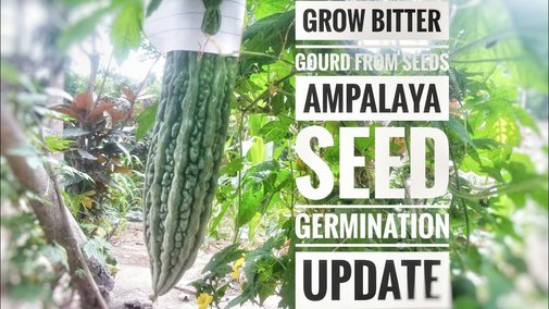 Grow Bitter Gourd From Seed | Ampalaya Seed Germination | Update