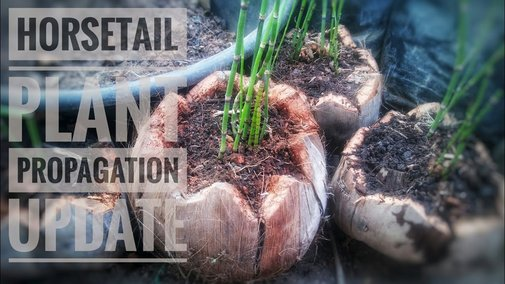 Propagate Horsetail Plant | Equisetum Hyemale Propagation | Update