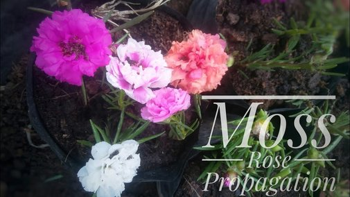 Grow Moss Rose | Portulaca Grandiflora From Cutting