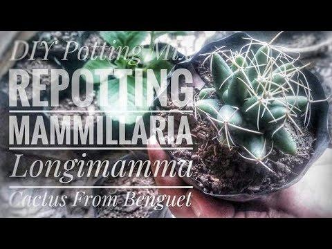 DIY Cactus Potting Mix and Repotting Mammilaria Longimmama Cactus
