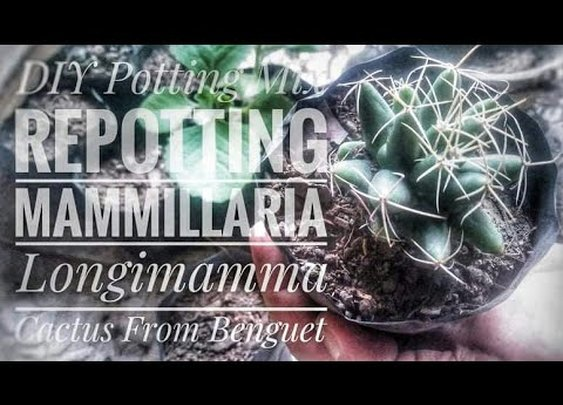 DIY Cactus Potting Mix and Repotting Mammilaria Longimmama Cactus