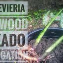 Sansevieria Fernwood Mikado Propagation