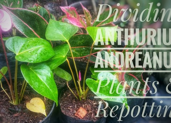Dividing Anthurium Andreanum Plants and Repotting