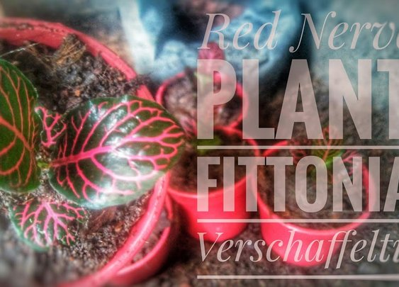 Red Nerve Plant | Fittonia Verschaffeltii | Propagation by Stem Cutting, Repotting, and Care