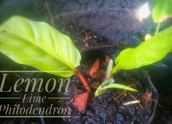 How To Propagate Lemon Lime Philo