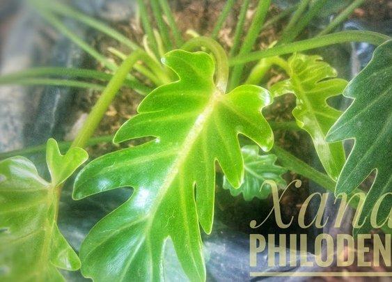 Xanadu Philodendron Propagation