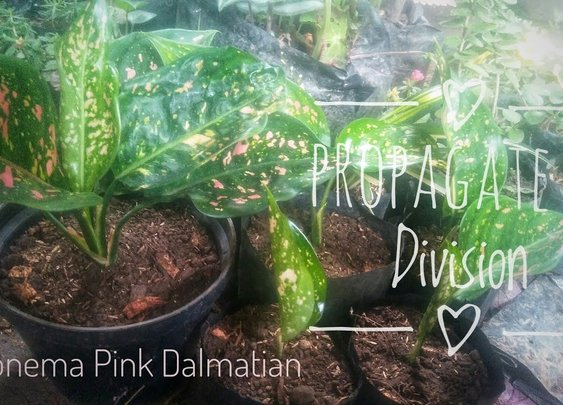 How To Propagate Aglaonema (Chinese Evergreen) Pink Dalmatian