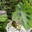 Black Spider Caladium | Mother Plant Daw, Propagation Turn Into Repotting
