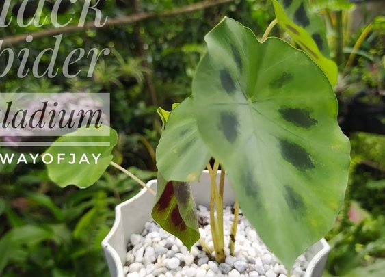 Black Spider Caladium | Mother Plant Daw, Propagation Turn Into Repotting
