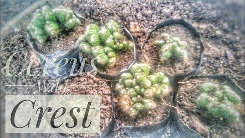 Cereus Wild Crest Cactus Propagation | Propagate by Cuttings