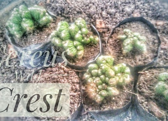 Cereus Wild Crest Cactus Propagation | Propagate by Cuttings