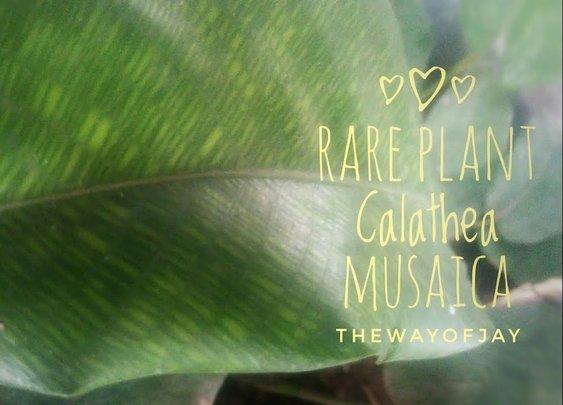 Rare Plant Musaica Calathea | Propagate by Division