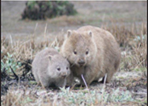 Intestines of non-uniform stiffness squares wombat feces - Soft Matter (RSC Publishing)